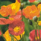 Ubrousek 33x33cm - Poppies blow